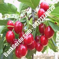 قیمت خرید نهال آلبالو در بانه 09121263597