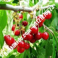قیمت خرید نهال آلبالو در برازجان 09121263597
