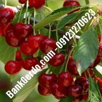 قیمت خرید نهال آلبالو در بندر انزلی 09121263597