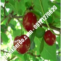 قیمت خرید نهال آلبالو در بندر کنگان 09121263597