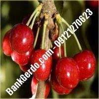 قیمت خرید نهال آلبالو در بوئین زهرا 09121263597