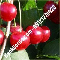 قیمت خرید نهال آلبالو در جیرفت 09121263597