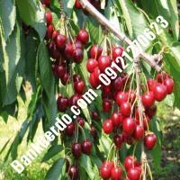 قیمت خرید نهال آلبالو در حمیدیا 09121263597