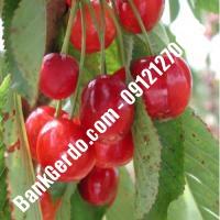 قیمت خرید نهال آلبالو در خراسان جنوبی 09121263597
