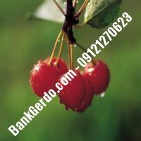 قیمت خرید نهال آلبالو در خمین 09121263597