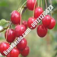 قیمت خرید نهال آلبالو در دزفول 09121263597