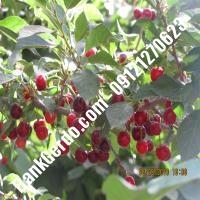 قیمت خرید نهال آلبالو در زابل 09121263597