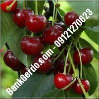 قیمت خرید نهال آلبالو در سمنان 09121263597