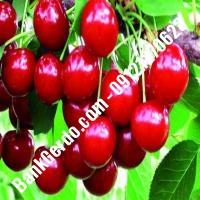 قیمت خرید نهال آلبالو در شاهرود 09121263597