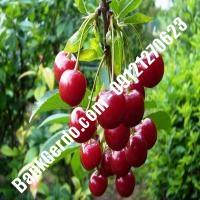 قیمت خرید نهال آلبالو در شهریار 09121263597