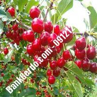قیمت خرید نهال آلبالو در شیروان 09121263597