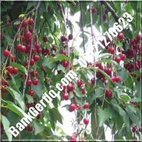 قیمت خرید نهال آلبالو در قزوین 09121263597