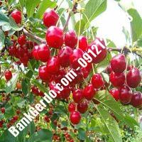 قیمت خرید نهال آلبالو در قنوات 09121263597