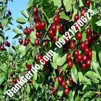 قیمت خرید نهال آلبالو در لاهیجان 09121263597
