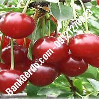 قیمت خرید نهال آلبالو در لردگان 09121263597