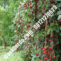 قیمت خرید نهال آلبالو در میناب 09121263597