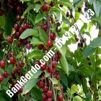 قیمت خرید نهال آلبالو در نیشابور 09121263597