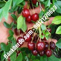 قیمت خرید نهال آلبالو در همدان 09121263597