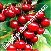 قیمت خرید نهال آلبالو در چابهار 09121263597