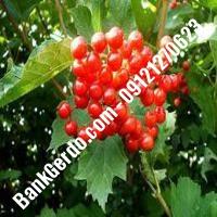 قیمت خرید نهال آلبالو در کاشان  09121263597