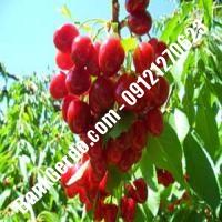 قیمت خرید نهال آلبالو در کنگاور 09121263597