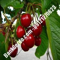 قیمت خرید نهال آلبالو در یزد 09121263597