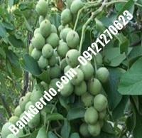 آبیاری قطره ای درخت گردو فرنور | ۰۹۱۲۱۲۶۳۵۲۴