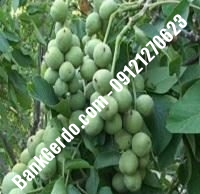 آبیاری قطره ای درخت گردو چندلر پیوندی | ۰۹۱۲۱۲۶۳۵۲۴