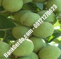 تولید و فروش انواع نهال گردو خوشه ای پاکوتاه   ۰۹۱۹۷۷۲۲۵۶۰