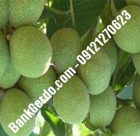 خرید فروش قیمت نهال گردو در محمدشهر | ۰۹۱۲۱۲۶۳۵۲۴