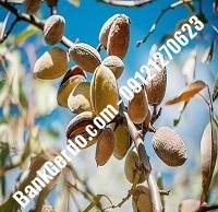 خرید فروش نهال بادام آذربایجان شرقی | ۰۹۱۲۱۲۴۳۵۹۷