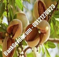 خرید فروش نهال بادام اصفهان  | ۰۹۱۲۱۲۴۳۵۹۷